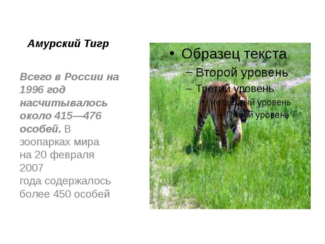 Амурский Тигр Всего в России на 1996 год насчитывалось около 415—476 особей....