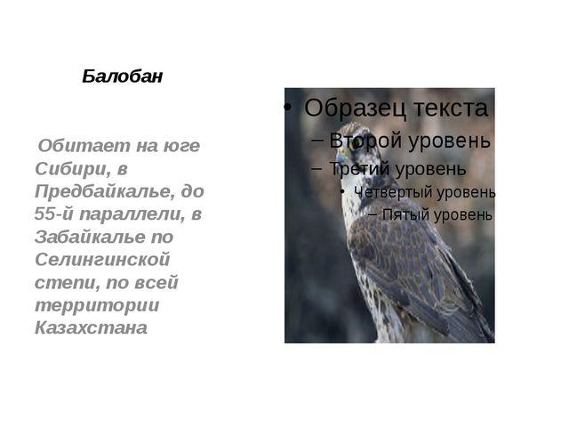 Балобан Обитает наюге Сибири, в Предбайкалье, до 55-й параллели, в Забайкал...