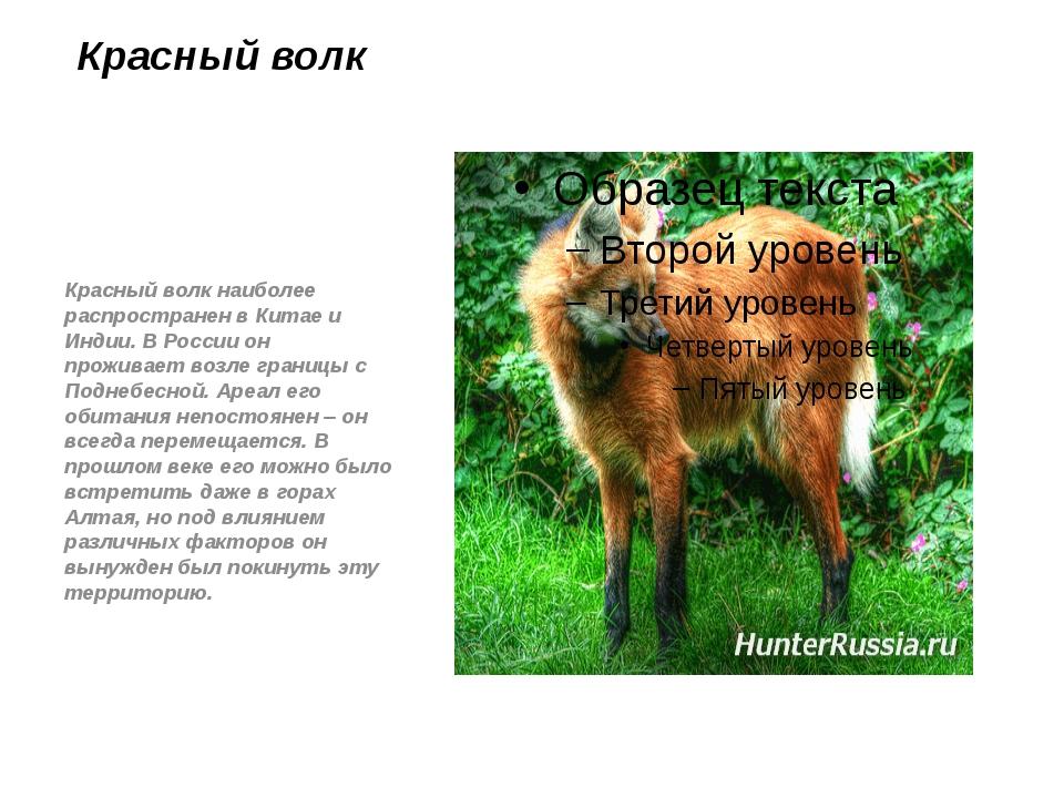 Красный волк Красный волк наиболее распространен в Китае и Индии. В России он...