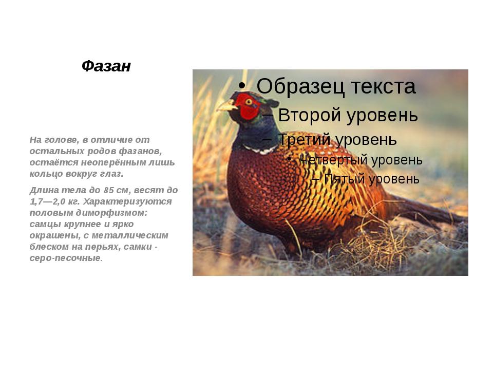 Фазан На голове, в отличие от остальных родов фазанов, остаётся неоперённым л...