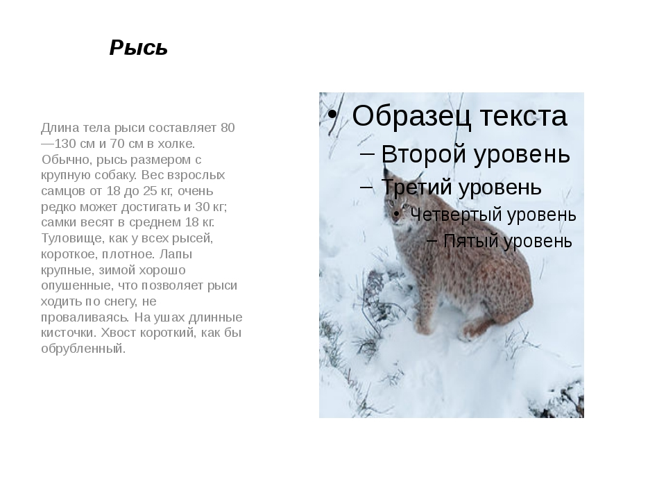 Рысь Длина тела рыси составляет 80—130см и 70см в холке. Обычно, рысь разме...