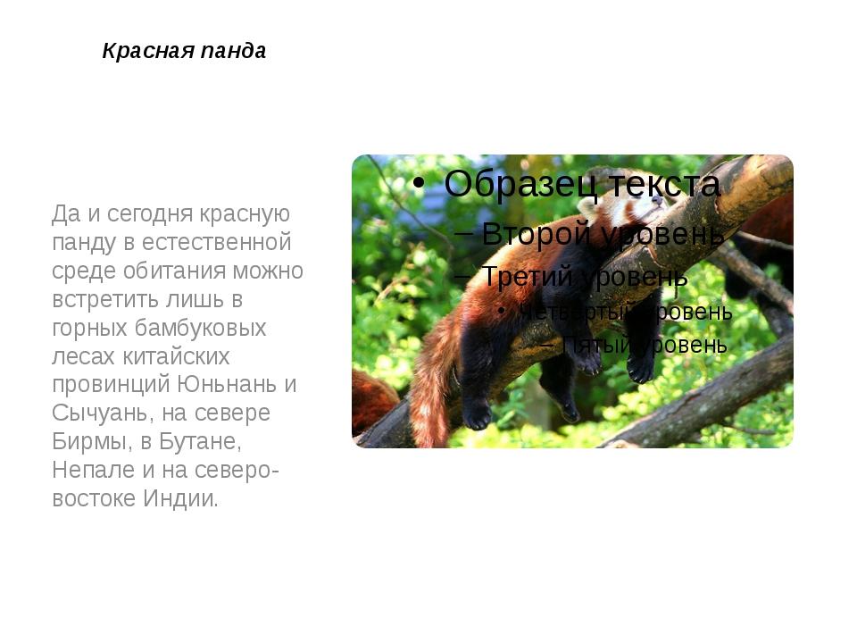 Красная панда Да и сегодня красную панду в естественной среде обитания можно...