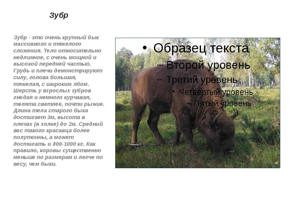 Зубр Зубр - это очень крупный бык массивного и тяжелого сложения. Тело относи...