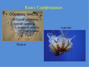Класс Сцифоидные. Медуза Аурелия