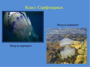 Класс Сцифоидные. Медуза корнерот Медуза корнерот