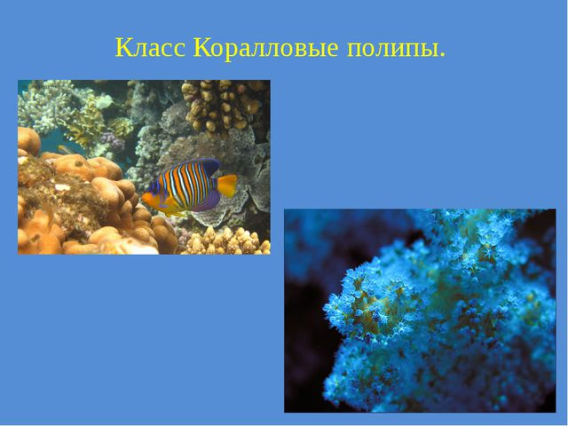 Класс Коралловые полипы.