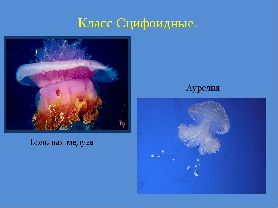 Класс Сцифоидные. Большая медуза Аурелия