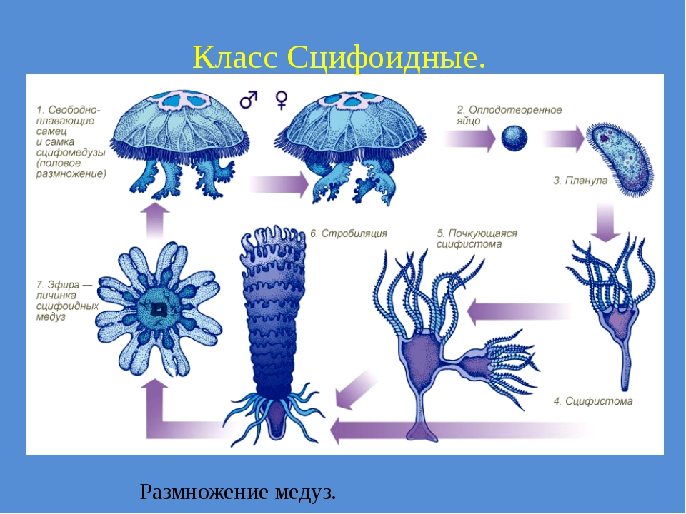 Класс Сцифоидные. Размножение медуз.