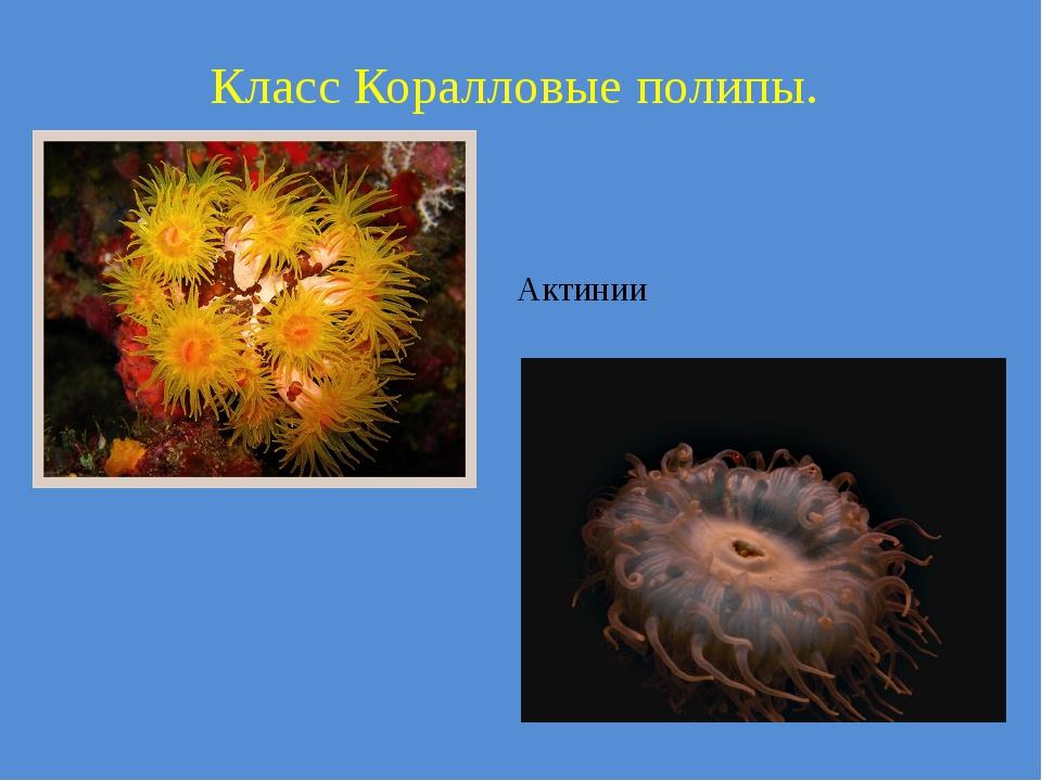 Класс Коралловые полипы. Актинии