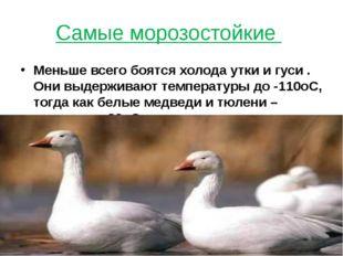 Самые морозостойкие Меньше всего боятся холода утки и гуси . Они выдерживают