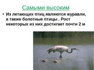 Самыми высоким Из летающих птиц являются журавли, а также болотные птицы . Ро