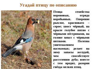 Птица семейства вороновых, отряда воробьиных. Оперение рыхлое, красновато – с