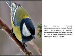 Эта птичка обитает преимущественно в лесах. Зимой часто встречается у жилья.