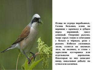 Птица из отряда воробьиных. Голова большая, клюв на вершине с крючком и зубцо