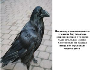 Неприятную новость принесла эта птица богу Аполлону, оперение которой в то вр