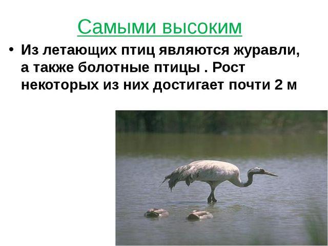 Самыми высоким Из летающих птиц являются журавли, а также болотные птицы . Ро...