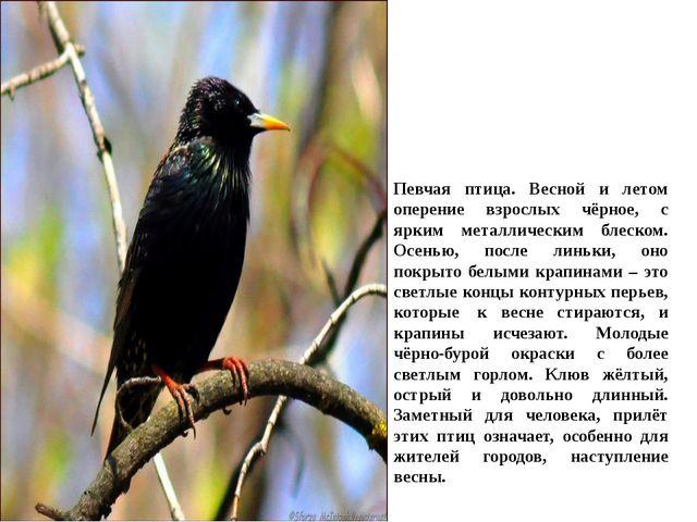 Певчая птица. Весной и летом оперение взрослых чёрное, с ярким металлическим...