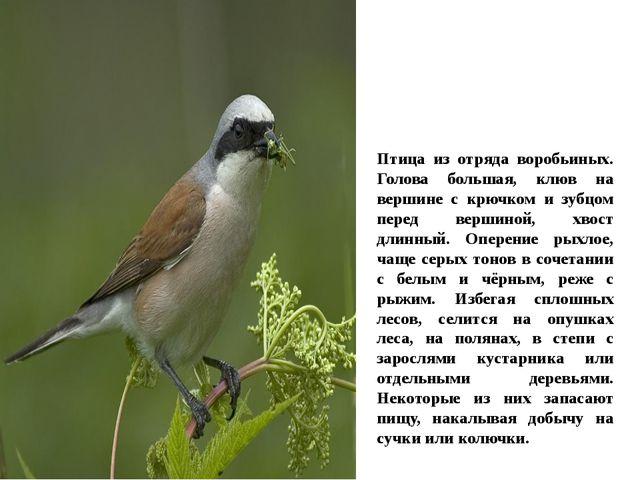 Птица из отряда воробьиных. Голова большая, клюв на вершине с крючком и зубцо...