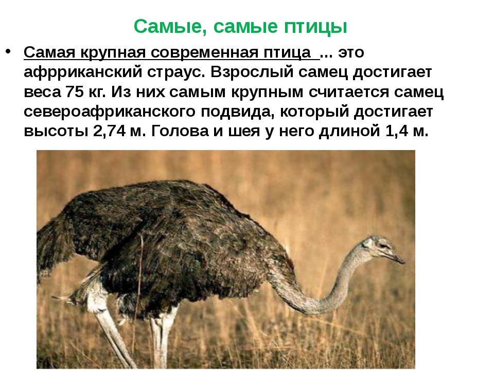 Самая крупная современная птица ... это афрриканский страус. Взрослый самец...
