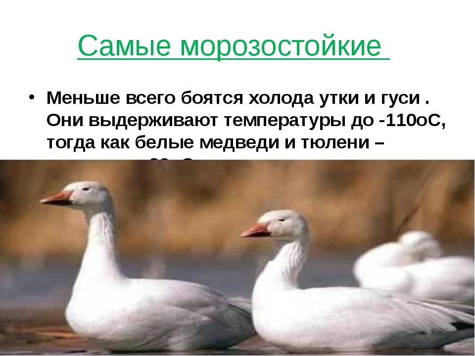 Самые морозостойкие Меньше всего боятся холода утки и гуси . Они выдерживают...