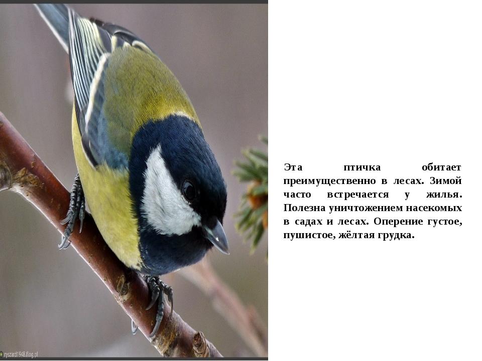 Эта птичка обитает преимущественно в лесах. Зимой часто встречается у жилья....