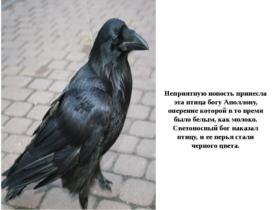 Неприятную новость принесла эта птица богу Аполлону, оперение которой в то вр...