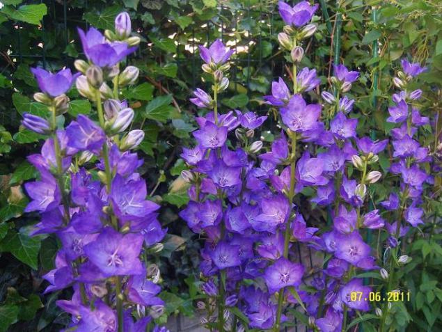 http://www.agaclar.net/forum/attachments/bahce-sus-bitkileri/221609d1307463494-campanula-persicifolia3.jpg