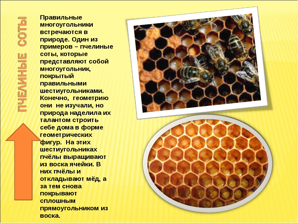 Правильные многоугольники встречаются в природе. Один из примеров – пчелиные...