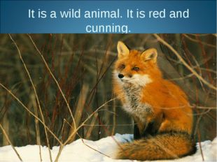 It is a wild animal. It is red and cunning.