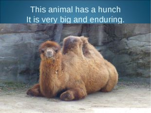 This animal has a hunch It is very big and enduring.