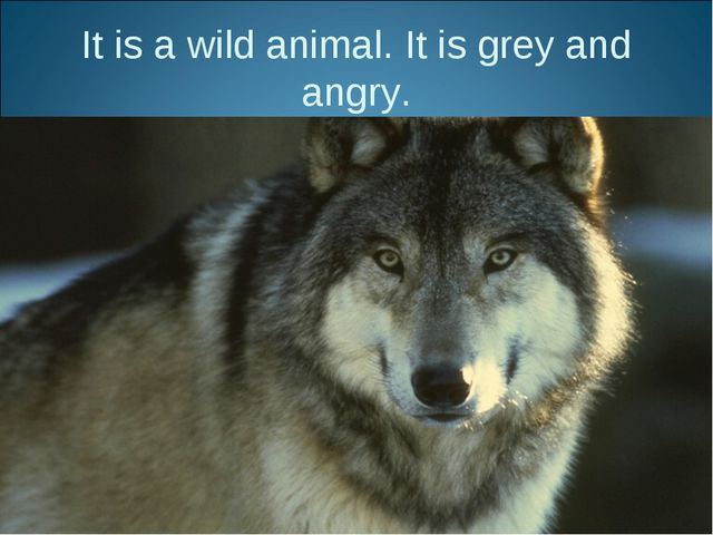 It is a wild animal. It is grey and angry.