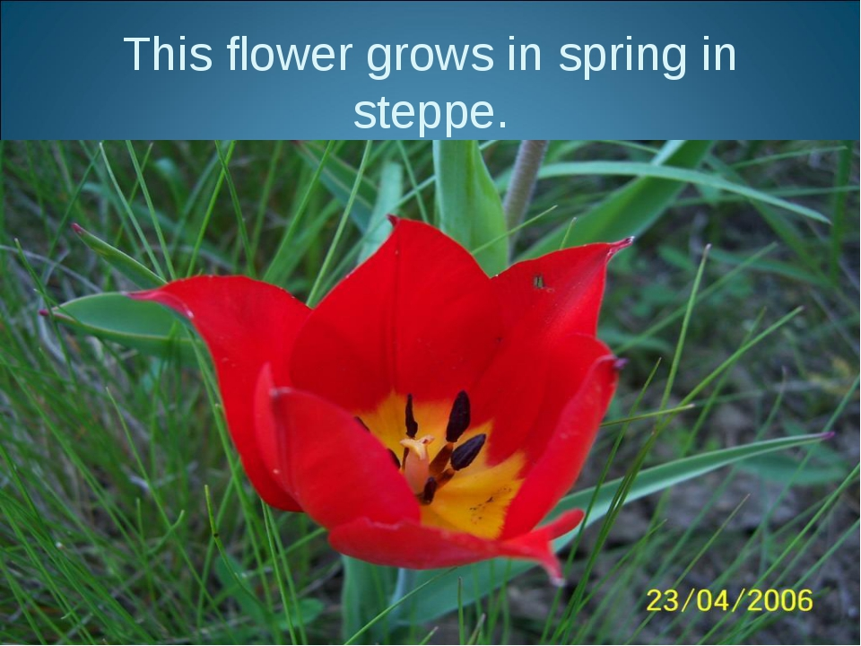 This flower grows in spring in steppe.