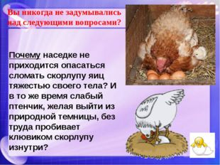 Почему наседке не приходится опасаться сломать скорлупу яиц тяжестью своего т