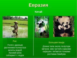 Евразия Рис Поля с данным растением полностью залиты водой. Урожай риса собир