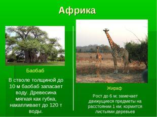Африка Баобаб В стволе толщиной до 10 м баобаб запасает воду. Древесина мягка