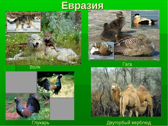 Евразия Волк Гага Глухарь Двугорбый верблюд