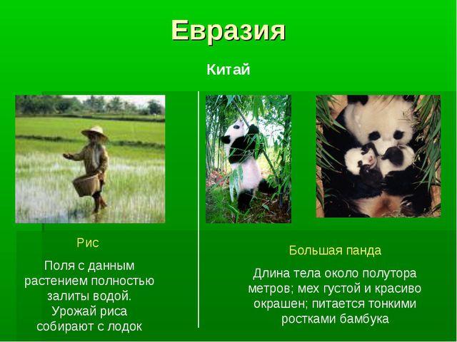 Евразия Рис Поля с данным растением полностью залиты водой. Урожай риса собир...