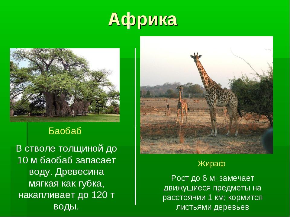 Африка Баобаб В стволе толщиной до 10 м баобаб запасает воду. Древесина мягка...