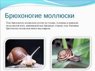 Брюхоногие моллюски Тело брюхоногих моллюсков состоит из головы, туловища и ш