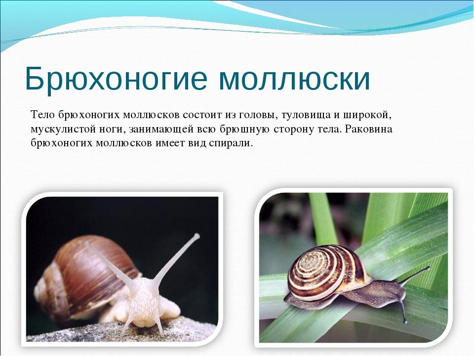 Брюхоногие моллюски Тело брюхоногих моллюсков состоит из головы, туловища и ш...