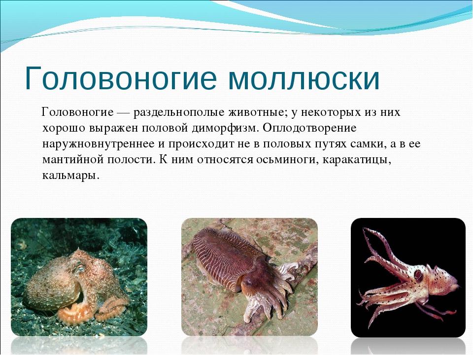 Головоногие моллюски Головоногие — раздельнополые животные; у некоторых из ни...
