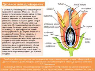 Двойное оплодотворение У цветковых растений процессу оплодотворения предшеств