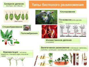 Типы бесполого размножения Бинарное деление: (бактерии, простейшие) Спорообра
