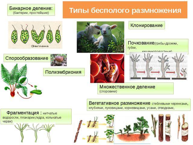 Типы бесполого размножения Бинарное деление: (бактерии, простейшие) Спорообра...