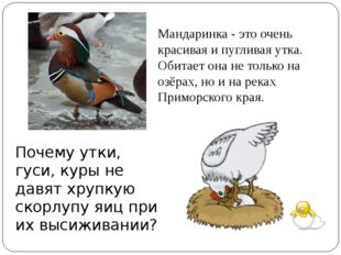 Почему утки, гуси, куры не давят хрупкую скорлупу яиц при их высиживании? Ман