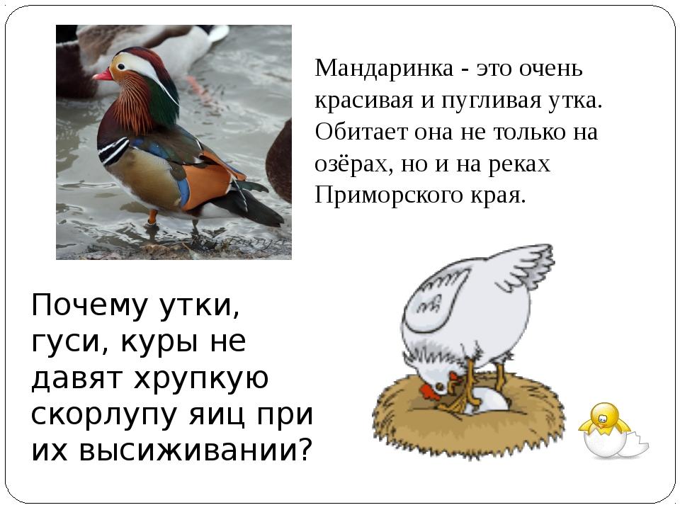 Почему утки, гуси, куры не давят хрупкую скорлупу яиц при их высиживании? Ман...