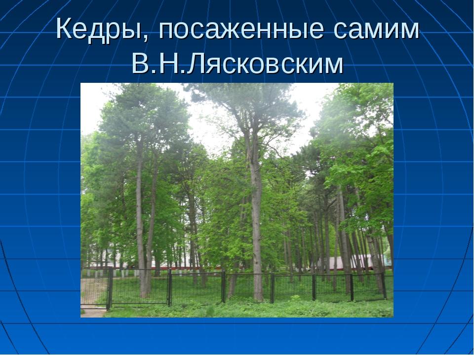 Кедры, посаженные самим В.Н.Лясковским