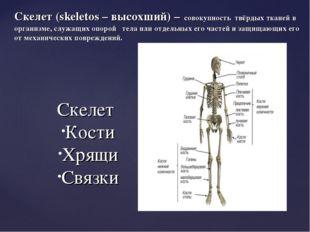 Скелет (skeletos – высохший) – совокупность твёрдых тканей в организме, служ
