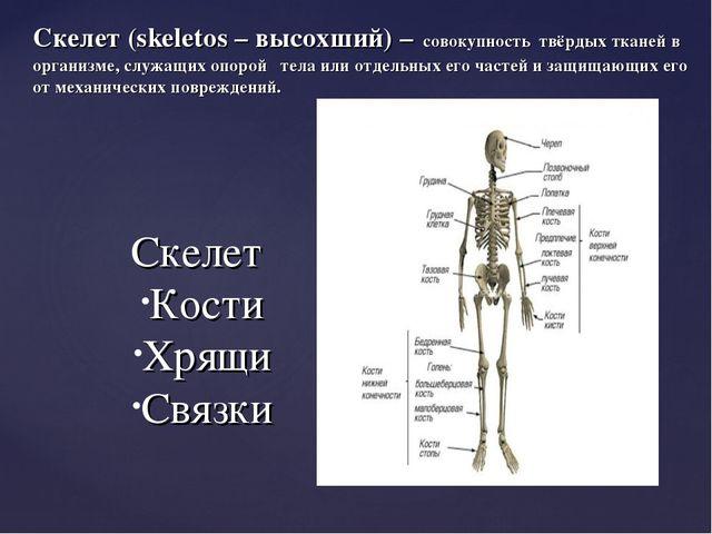 Скелет (skeletos – высохший) – совокупность твёрдых тканей в организме, служ...