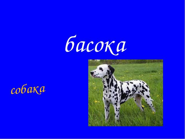 басока собака